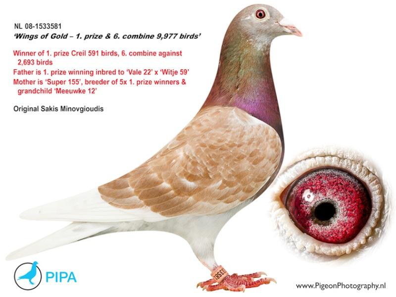 Pigeon For Sales - Kwan's Pigeon Loft